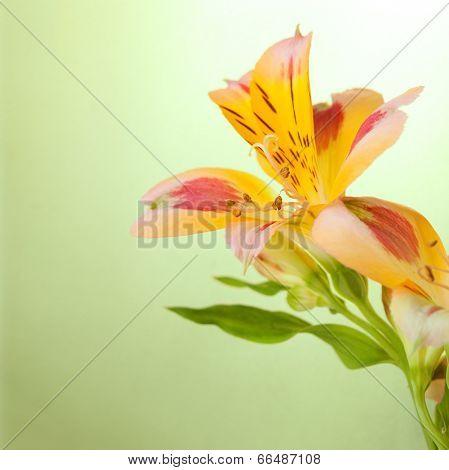 Alstroemeria on light green  background