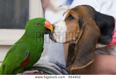 Eclectus Parrot And Bassett Hound