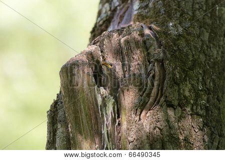 Nestling Starling
