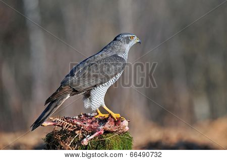 Northern goshawk with carrion