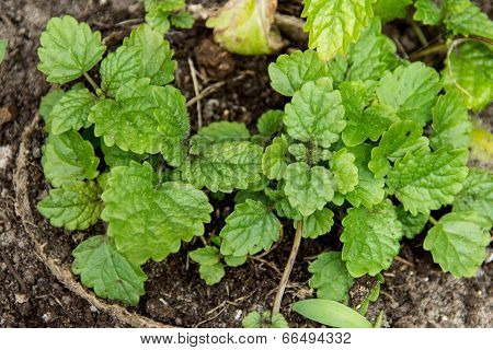 Melissa officinalis , Balm mint plant
