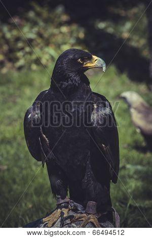 Raptor, Black eagle with yellow peak