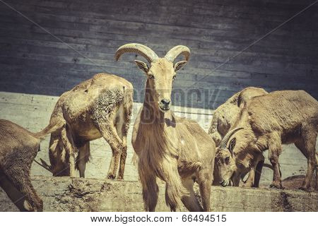 Spanish ibex, group, , great horns