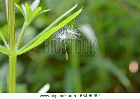 Dandelion Seeds Stuck to Goosegrass