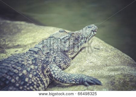 Alligator laying on the ground