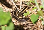 stock photo of garter  - Eastern Garter Snake warming in morning sun - JPG