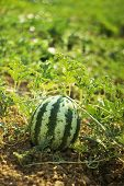 pic of muskmelon  - Water melon at field is growing up - JPG