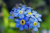 image of forget me not  - Bunch of blue forget - JPG