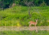 stock photo of antlers  - Whitetail Deer Buck standing in a pond with summer velvet antlers - JPG