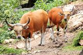 stock photo of cattle breeding  - Wild Cattle eating grass on the hill