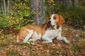 image of foxhound  - Dog hound resting on fallen leaves in the autumn forest - JPG
