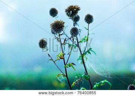 burdock plant early misty morning