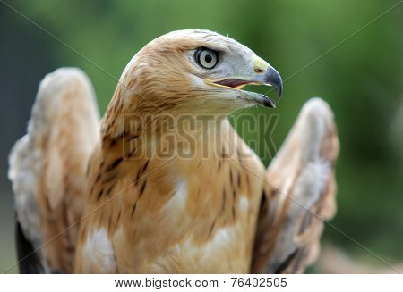 Young Long-legged Buzzard