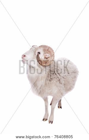 Portrait Of ram On White
