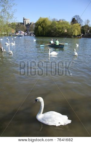 Swans On River Thames Windsor