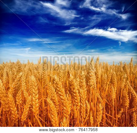 Beautiful yellow wheat field and clouds sky