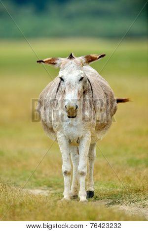 grazing donkey on rural grassland