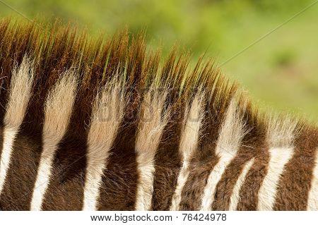 Zebra's Mane