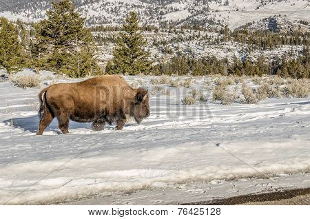 Bison Kicking Up Snow