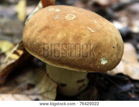 Boletus Edulis Mushroom Grows In A Forest
