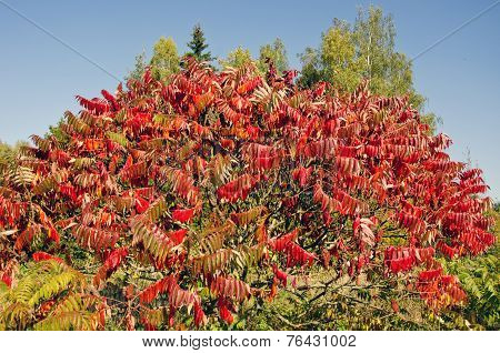 Beautiful Autumn Stahhorn Sumac (rhus Typhina) Leaves
