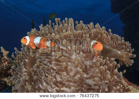 Nemo(Clown Anemonefish)