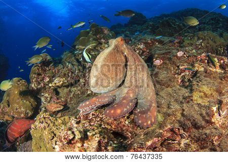 Big Red Octopus on coral reef in ocean