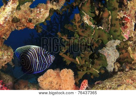 Juvenile Emperor Angelfish hides in coral reef