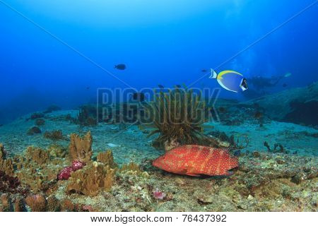 Coral Grouper on underwater reef