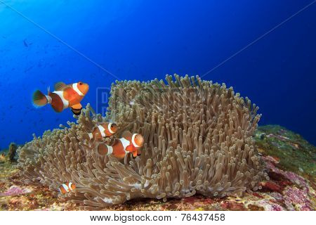 Nemo fish Clownfish Anemonefish
