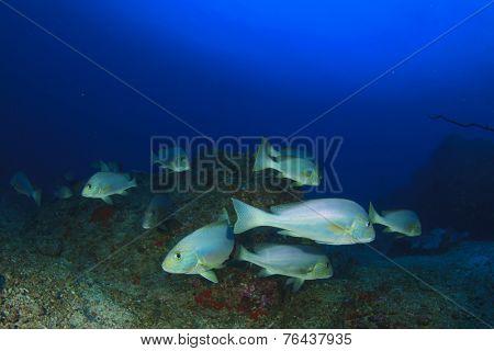 School Sweetlips fish