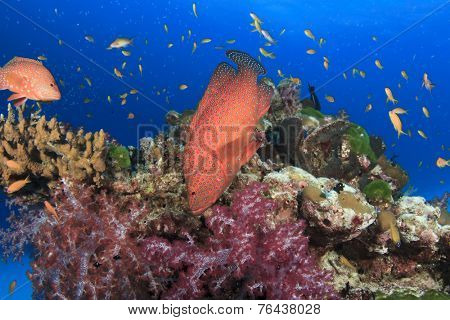 Coral reef and Grouper Fish