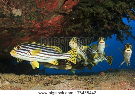 Sweetlips fish