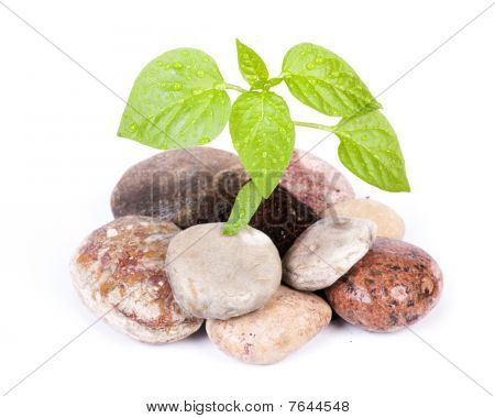 Small Green Sprout Among Stones