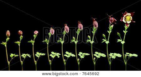 Columbine Flower Timelapse