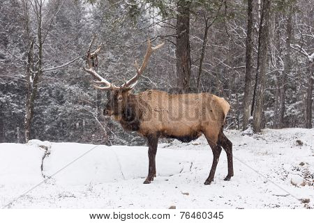 Large elk in a forest
