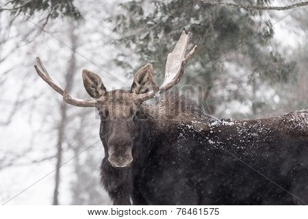 Large male moose in a winter scene