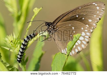 Common Crow Butterfly And Caterpillar