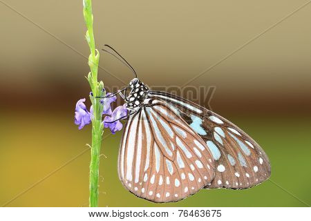 Blue Spotted Milkweed butterfly and flowers
