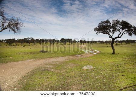 Plantation Of Carob Trees