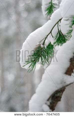Coniferous Branch Covered With Snow