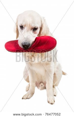 Naughty golden retriever puppy with slipper in mouth
