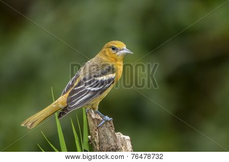 Northern (baltimore) Oriole-juvenile
