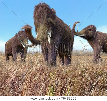 Woolly Mammoths Grazing In Grassland