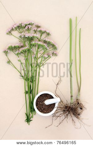 Valerian flower herb with fresh root and chopped in a mortar with pestle over mottled cream background. Valeriana. Used as an alternative medicinal substitute to valium.