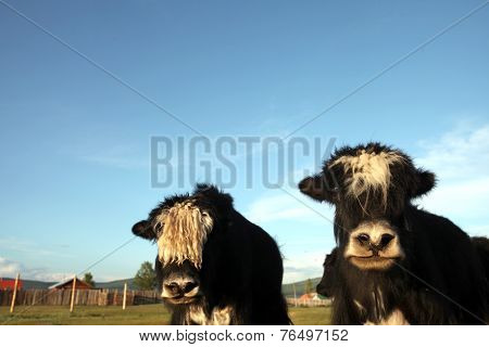 Mongolian cattle