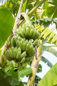 stock photo of banana tree  - green and fresh banana on banana tree - JPG