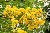 picture of cassia  - yellow flower of cassia fistula tree  - JPG