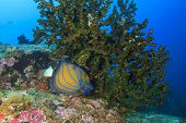 image of angelfish  - Bluering Angelfish - JPG