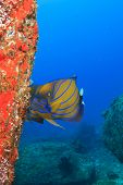 pic of angelfish  - Bluering Angelfish - JPG